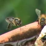 honey bees at the drinkin hole