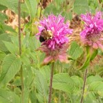 Carpenter bee on the bee balm